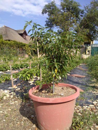 Topfplanze als Deko im Garten
