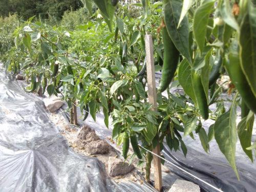 Chilipflanze im Freiland eingesetzt mit vielen Früchten drauf.