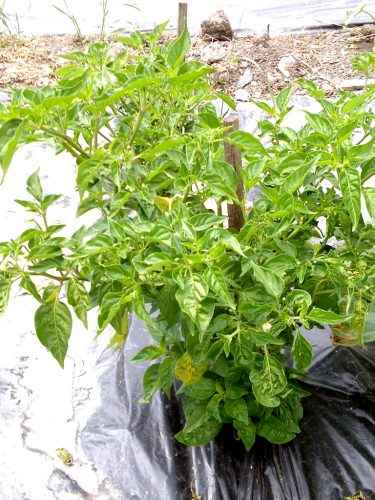 Exotische Chilisorten: Capsicum Baccatum. Eine Pflanze buschige Pflanze mit hohem Ertrag.